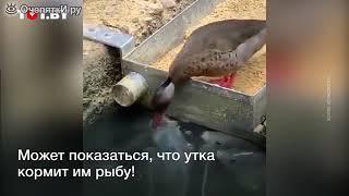 утка кормит рибы