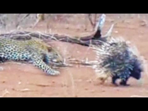 Leopard Learns Lesson From 2 Porcupines