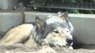 円山動物園のシンリンオオカミのルーク。 ルークはオッドアイとか、短い...