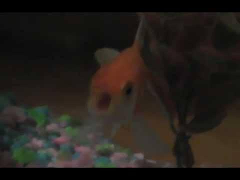 Goldfish Rapping (By James Rodrick)