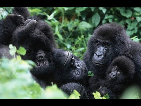 Gorillas In The Mist Rwanda Makes Ape Viewing Experience More Exclusive