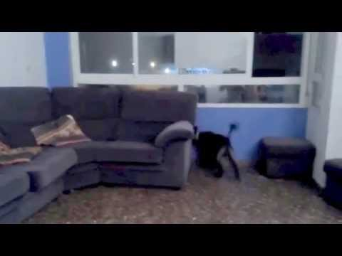 Dog Fetching Ball Behind Sofa