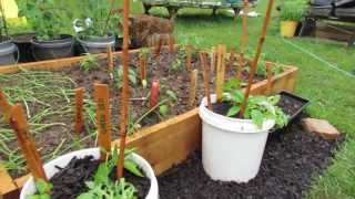 Growing Two Peppers in a Single 5 Gallon Containers - The Rusted Garden 2013
