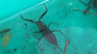 秋の用水路でガサガサ タイコウチ、ヤゴ、サワガニ、ドジョウ  Aquatic organisms of Japan thumbnail