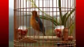 Kicau Mania | Suara Burung | Anis Merah Gacor Teler Doyorng Juara