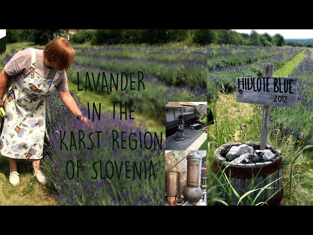 Lavender field,  karst house and distilling lavender oil | Exploring Slovenia EP6 | Ivanji grad