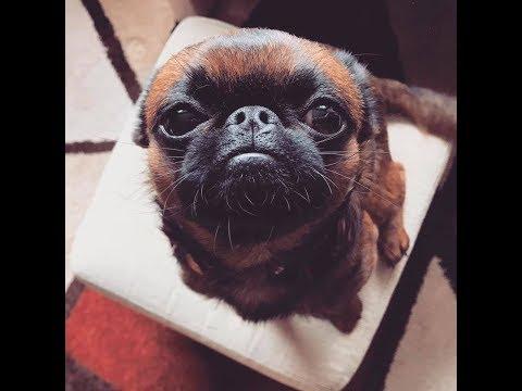 Legran brabantci / Funny DOG - Petit Brabancon from Czech Republic