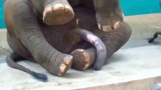 Слон возбудился