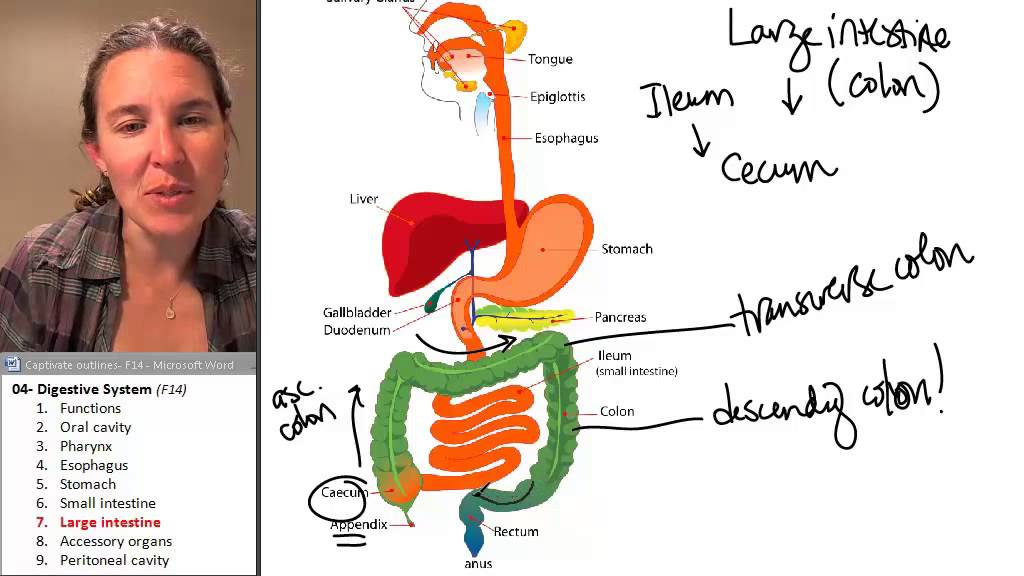 Large Intestine (Digestive System) ☆ Human Anatomy Course ...