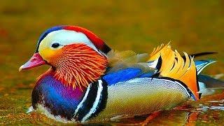 видео Экзотические Птицы