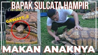 OMG..! SULCATA TORTOISE FATHER ALMOST EATING HIS SON..!