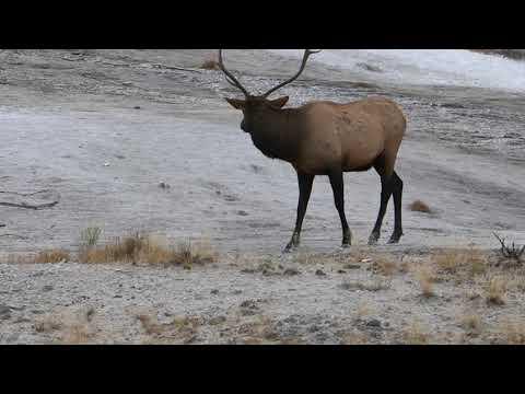 Bull elk at Yellowstone