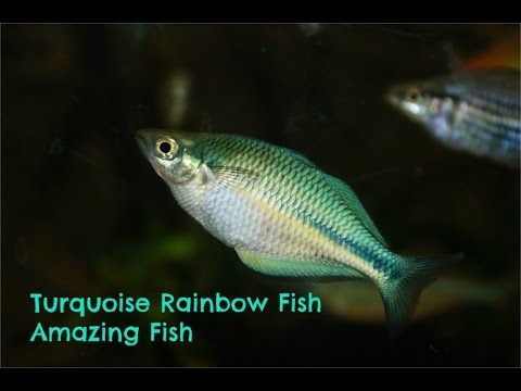 Turquoise  Rainbowfish: Amazing Fish