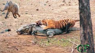 Szalony Tygrys,Walki i Polowanie Dzikich Zwierząt