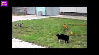 Схватка кота и собаки... Ужасные последствия....!!!