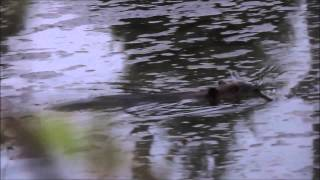 Golden Retriever Slapped By Beaver April 30th, 2015.mp4