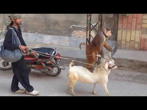 Monkey Circus on street Very funny Video