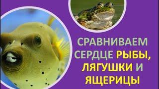 14. Сравниваем сердце рыбы, лягушки и ящерицы
