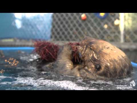 Hungry sea otter eats prickly sea urchin