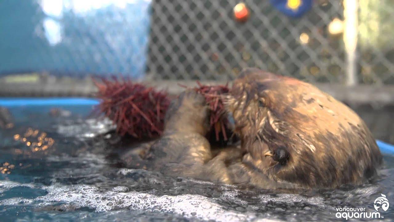 Hungry sea otter eats prickly sea urchin - YouTube