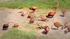 Pheasant Farming in Pakistan, Family of Pheasant,Partridge Farming, Tetar Farmimg