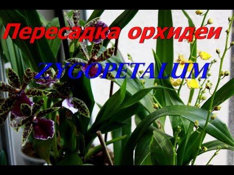 Пересадка орхидеи зимой. Состав грунта для орхидеи Зигопеталум