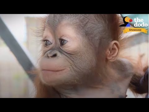 4 INCREDIBLE Orangutan Rescues That Will Change Your Life | The Dodo Showcase