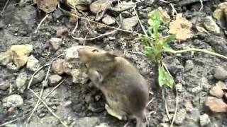 Мышка бегает по кругу Цирковая?