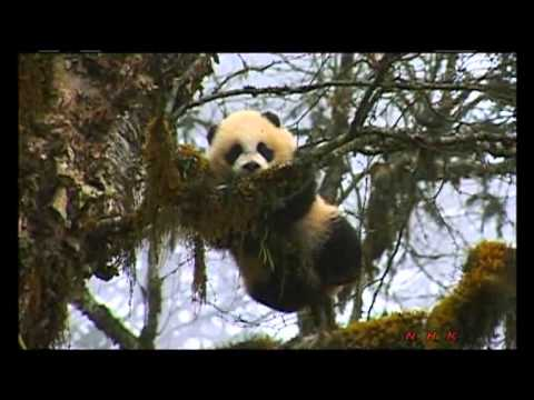 Sichuan Giant Panda Sanctuaries - Wolong, Mt Siguniang  ... (UNESCO/NHK)