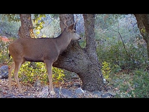 California Mountain Mule Deer