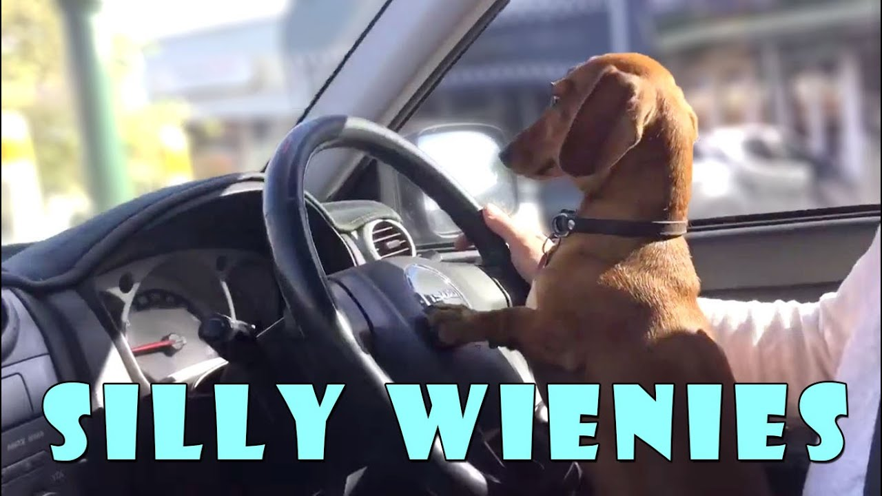 silly wiener dogs compilation cute and funny dachshund videos