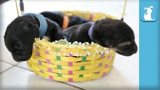 Easter Basket of 5 Day Old German Shepherd Puppies - Puppy Love