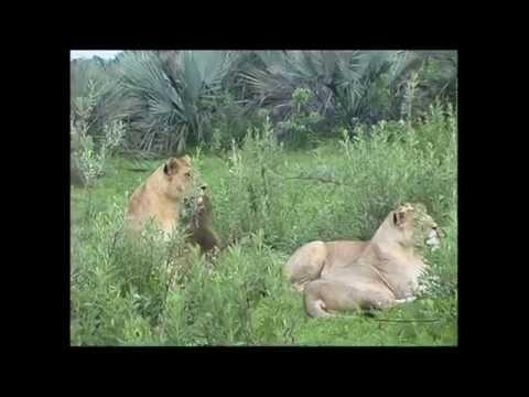 Lion and Buffalo interaction