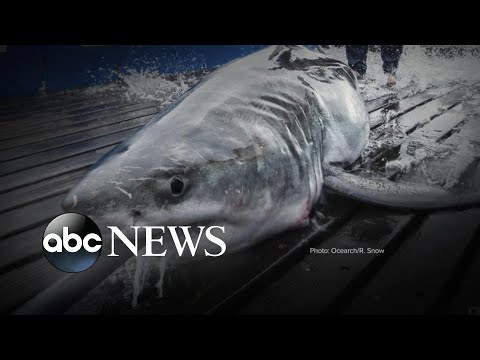 Great White Shark Believed to be Lurking Off USA Coast!