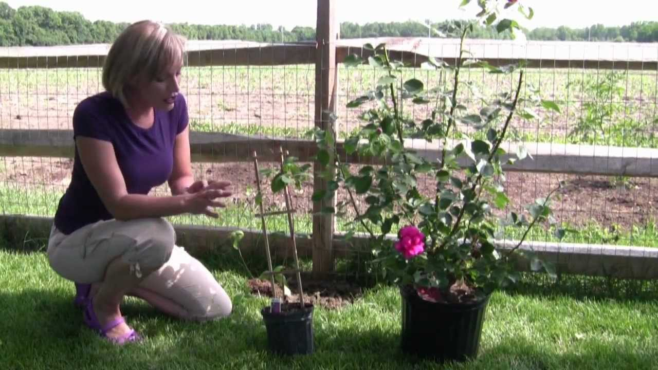 How To Grow And Care For Clematis Step By Step Gardening