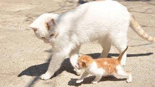 子猫は猫から学ぶ - 子猫たちは母親と遊ぶ - 最も面白い猫の映画 #106 thumbnail