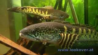 Aquarium Studies | Channa aurantimaculata Schlangenkopffisch