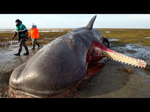 Sperm Whales Found With Garbage in Their Stomachs