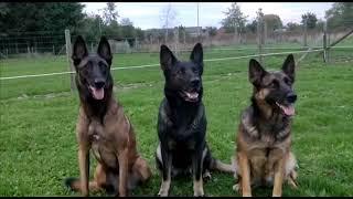 Shepherd dogs attention