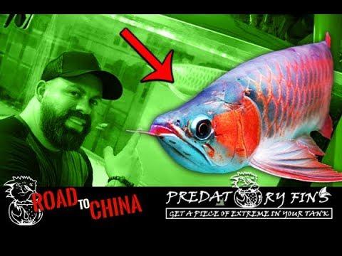 EPIC ASIAN AROWANA Breeding Facility In CHINA!