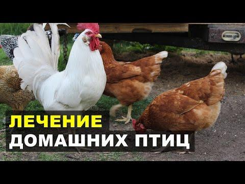 Чесоточный клещ на ногах домашней птицы - Кнемидокоптоз