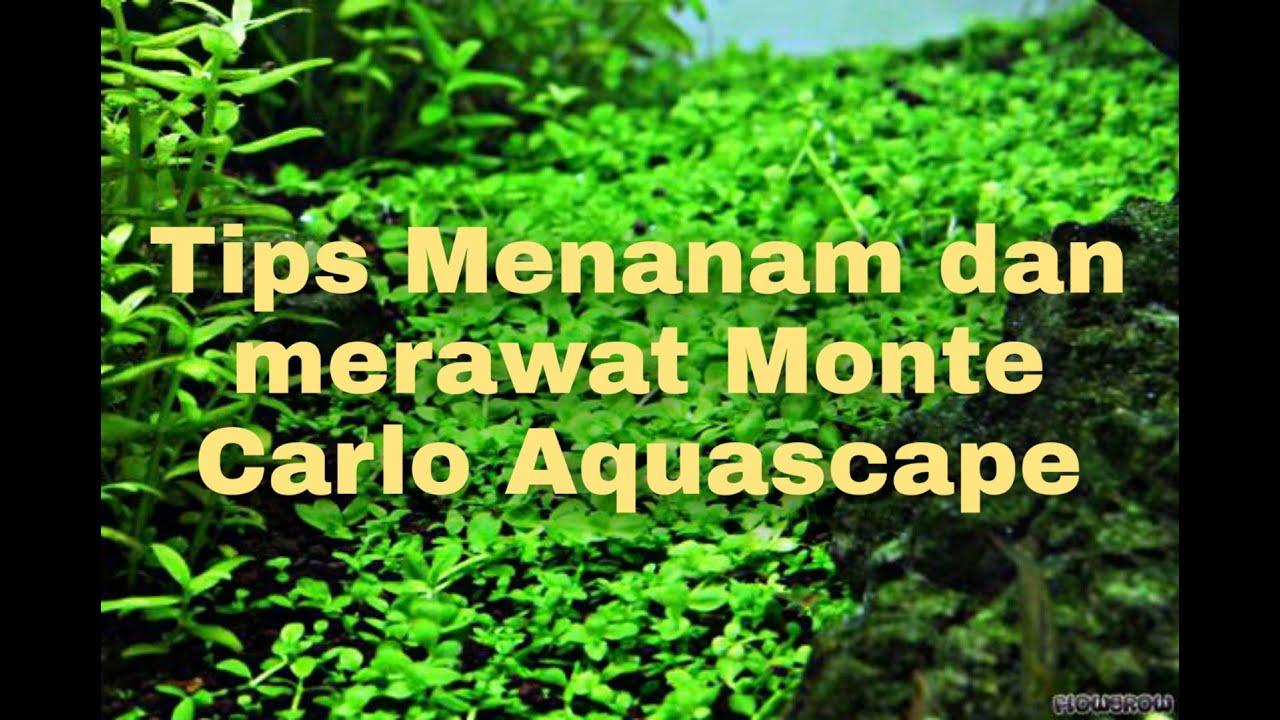 TIPS MERAWAT MONTE CARLO AQUASCAPE TANPA SOIL DAN PUPUK ...