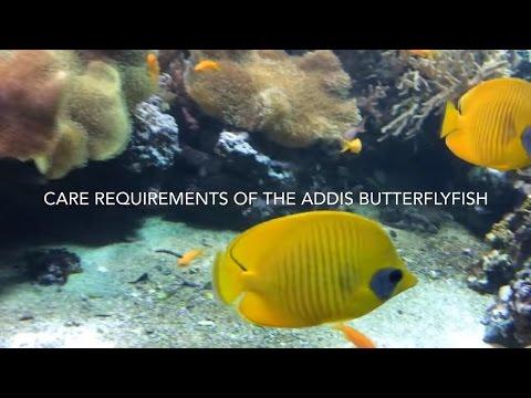 Addis Butterflyfish Care (Chaetodon Semilarvatus)