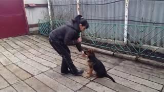 """Обучение щенка команде""""Маскируйся (умри)"""" и команде """"ЗАЙКА"""""""
