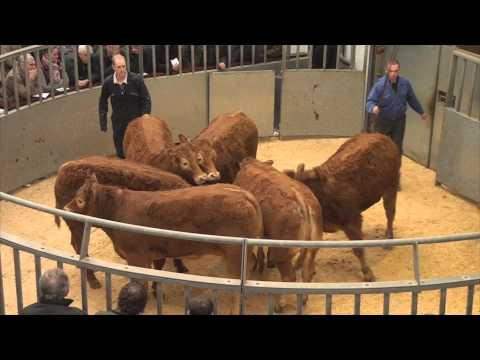 Lanark Auction Mart Show and Sale of Store Cattle Tuesday 3rd March 2015