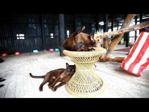 Burmese cats pounce back in Myanmar