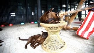 Burmese cats pounce back in Myanmar