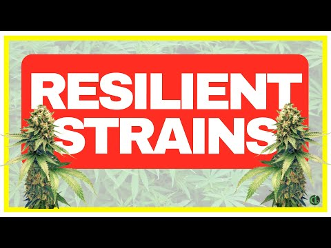 5 EASY STRAINS TO GROW (FOR BEGINNERS & ADVANCED GROWERS)