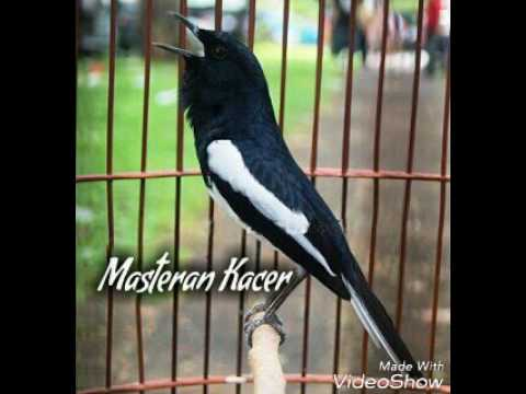 DOWNLOAD SUARA KACER PIKAT mp3