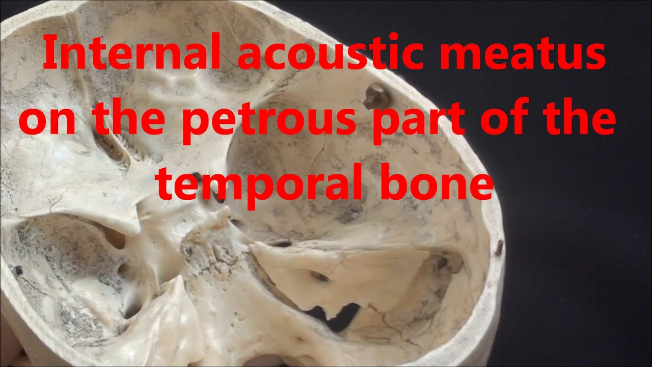 Human Anatomy Video: Base of the skull - Part 3 - Cranial nerves VII ...